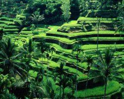 les rizières de Tegalalang | iBALI Voyage